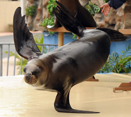 This year's Peanut Festival will feature an incredible show of sea lions performing entertaining and educational tricks including handstands, balancing balls, flips, dancing, smiling, and they even teach kids how to recycle.